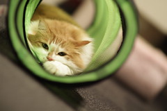 Tunnel cat (Takashi(aes256)) Tags: japan cat tokyo shinjuku tunnel    harumaki  catcafe canonef85mmf12liiusm  canoneos7d   kyariko