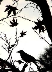 Reminder of death (Amin Arjmand) Tags: autumn fall death persian iran iranian crow  persianpeople