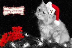 Holiday Wishes... (KrazyBoutCats) Tags: santa christmas red cats pets animals holidays kittens christmaslights felines sammy poinsettas merrychristmas santahat selectivecolor catwearingsantahat