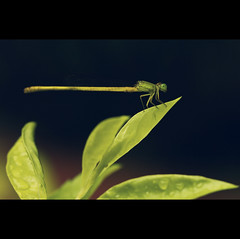 Mr.Green | Explored (VinothChandar) Tags: life india macro green nature leaves rain canon insect photography fly photo droplets drops dragon photos vibrant vivid chennai tamilnadu besantnagar monsson theosophicalsociety canoneos5dmarkii