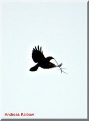 Dohle2012 (7) (Vogelfoto69) Tags: bird birds germany deutschland year birding andreas des western crow vgel birdwatching chough schornstein vogel 2012 schornsteinfeger jackdaw corvus monedula ornithologie dohle jahres kalbow