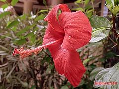 Mallorca -hibisco rojo 05 perfil (ferlomu) Tags: ferlomu flor hibiscum mallorca flower hibisco