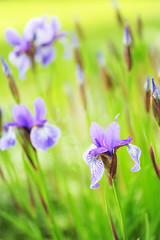 Garden Of Irises (affinity579) Tags: flowers nature colors garden spring nikon purple bright sunny irises 105mm d700