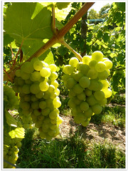 Westhalten (abac077) Tags: france vineyard alsace grape vigne raisin westhalten