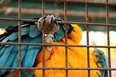 Ara (Asia Trip Tour - Sbastien Pagliardini) Tags: jaune poster rouge couple cage bleu prison vol oiseau couleur ara regard perroquet prisonnier