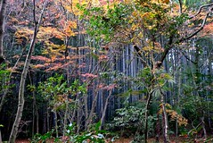 Bamboo turned any colors (tez-guitar) Tags: road street wood autumn tree green japan garden walking temple town leaf kyoto bamboo leicax1