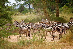 A Gathering of Zebras [Explored] (The Spirit of the World ( On and Off)) Tags: nature animals tanzania stripes wildlife safari zebras africanwildlife fantasticnature gameparks gamereserves bbng masterclasselite