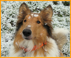 Goldy...my snow dog....A white Christmas for my dear Friends ! (Colliefan) Tags: park christmas schnee winter portrait plants dog pet pets white snow dogs nature animals germany garden fun deutschland collie funny flickr photographie frankfurt natur canine hund spass farben goldy colliefan