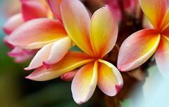 Tropical beauties (Deb Jones1) Tags: summer flower green nature floral beauty garden botanical outdoors 1 jones flora explore tropical frangipani deb flickrduel