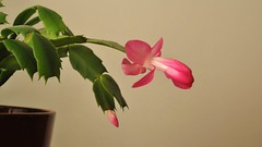 Christmas Cactus Blooming (HorsePunchKid) Tags: timelapse cactaceae schlumbergera caryophyllales schlumbergeratruncata taxonomy:order=caryophyllales taxonomy:kingdom=plantae taxonomy:family=cactaceae taxonomy:phylum=magnoliophyta taxonomy:genus=schlumbergera taxonomy:binomial=schlumbergeratruncata taxonomy:claderoot=plantae clade:plantae=magnoliophyta clade:magnoliophyta=magnoliopsida clade:magnoliopsida=caryophyllales clade:caryophyllales=cactaceae clade:cactaceae=schlumbergera clade:schlumbergera=truncata clade:plantae=tracheophyta clade:tracheophyta=magnoliopsida taxonomy:eolid=588963 taxonomy:common=christmascactus