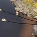 Owlfly antennae ends