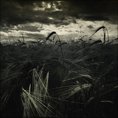 Square. Crop. (David (UK) - Gone) Tags: field barley dark scotland harvest crop stormclouds stirlingshire doune