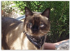Mom, tell the sun to not even dare leaving (Gabbcan) Tags: cats cat kitten kat chat siamese gatos gato tonkinese siames katter gatto katzen gatinho   siamesische siamesi  blueeyes kotkatt   gabbcan jazzthecat