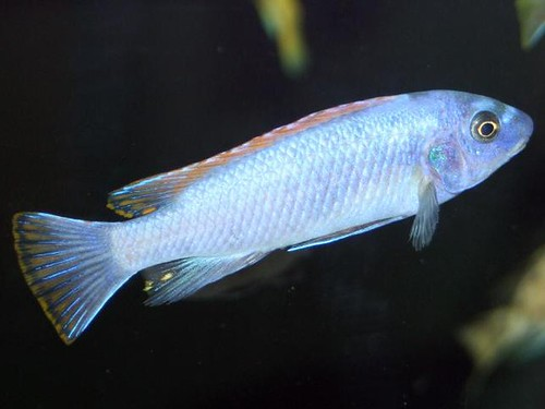 Labeotropheus trewavasae Thumbi West Island