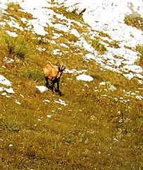 Camoscio abruzzese. (Aldo433) Tags: italy mountain italia monte montagna abruzzo appennino bosco maiella ortona camosciodabruzzo