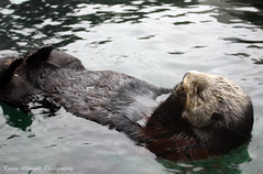 Sea Otter: Seattle Aquarium (k.b.r.i.t.e.) Tags: seattle seaotter seattleaquarium img9848 karenallbrightphotography