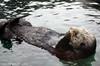 Sea Otter: Seattle Aquarium (k.b.r.i.t.e.) Tags: seattle seaotter seattleaquarium img9848 karenallbrightphotography