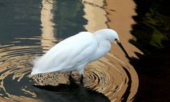 Snowy Egret (Alex..H) Tags: usa reflection bird nature water fauna river canal us eau earth panasonic reflexion egret oiseaux californie faune wow1 wow2 wow3 wow4 aigrette fz18 ringexcellence flickrstruereflection1 flickrstruereflection2 flickrstruereflection3 flickrstruereflection4
