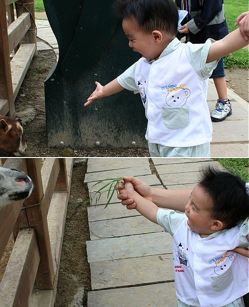 佑佑小時候餵羊