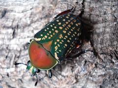 Mecynorrhina harrisi (Mashku) Tags: nature beetle insects beetles coleoptera cetoniidae cetoniini cetoniine