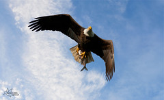 Bald Eagle w/ Fish (*~ Nature's Gifts Captured  ~*) Tags: winter sky fish nature birds clouds nikon eagle hawk dam wildlife bald maryland raptors conowingo specanimal d300s