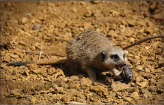 YOUNG MEERKAT (Shaun's Nature and Wildlife Images....) Tags: meerkats shaund