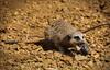 YOUNG MEERKAT (Shaun's Wildlife Photography) Tags: meerkats shaund