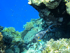 Beautiful scene with Sohal Surgeonfish, Acanth...