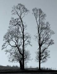 Trees in harmony...*1 (Harvey Dogson) Tags: uk sunset england tree northwest best explore cumbria flikcr morecambebay platinumphoto artofimages bestcaptureaoi amymit