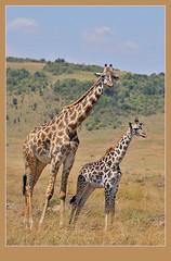 Giraffe with youngster (Rainbirder) Tags: giraffe masaimara giraffacamelopardalistippelskirchi giraffacamelopardalis masaigiraffe rainbirder