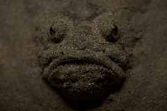 Face in the sand (macropoulos) Tags: fish face mouth scary eyes sand topf50 500v20f stargazer animalia gettyimages chordata canoneos5d scaber 1000v40f actinopterygii canonef100mmf28macrousm perciformes 30faves30comments300views uranoscopidae uranoscopus trachinoidei gettyimages:date_added=20120906