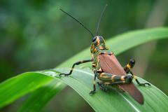 Grasshopper (Edi Eco) Tags: brazil macro green colors grass rio brasil canon insect grande big 100mm cricket capim inseto 7d brazilian grasshopper usm f28 ef sul gafanhoto grilo ijui chromacrisspeciosa