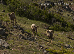 "Bighorn Sheep • <a style=""font-size:0.8em;"" href=""http://www.flickr.com/photos/63501323@N07/6690739317/"" target=""_blank"">View on Flickr</a>"