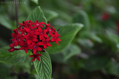 Blood Red (steff.sarcia) Tags: red flower ecology beauty blood environment redflower ecosystem