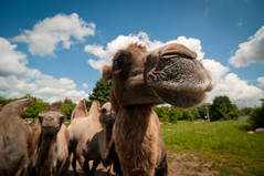 nosy (cmeeren) Tags: trees sky plants nature grass animals clouds flora skies critters creatures camels bactriancamels camelusbactrianus