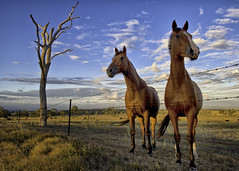 DRUMS OF TIME (southern_skies) Tags: horses australia queensland mares darlingdowns