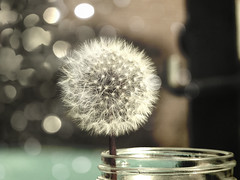 Dandelion in a Jar