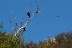 3 in a tree (Geoff Main) Tags: bird eagle australia act birdofprey birdinflight wedgetailedeagle tharwa canonef100400f4556lisusm canon7d