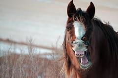 Yawn Big, Laugh Loud, Be Happy! (C-Dals) Tags: horse nikon yawn morgan nikkor equine 55200mmf456gvr d5100