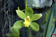 Orchids - Cymbidium Fifi 'Harry' - Orchidaceae C20120121 025 (fotoproze) Tags: canada orchids quebec montreal orchidee orqudeas orchideje 2012 orchides anggrek orchideen   orkide hoalan storczyki orchideen  orhidee  orkideer  orqudies orkideat brnugrs orhideje  orkider orkideak orchidey   orchidek magairln  tegeirianau