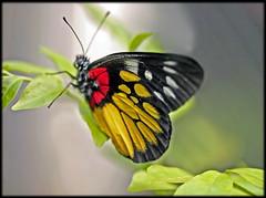Red-Base Jezebel Butterfly  ผีเสื้อหนอนกาฝากใต้ปีกแดง