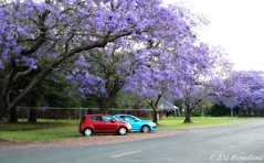 Red and blue make purple (Hopeisland) Tags: trees flower jacaranda