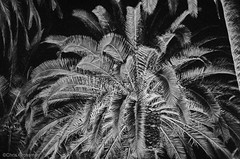 Palm Tree at Night - Nikon FE - Nikkor-SC 55mm F/1.2 - TMAX 3200 (divewizard) Tags: california blackandwhite bw white black slr blancoynegro film blanco night analog 35mm palms blackwhite analgica nikon tmax3200 noir y noiretblanc kodak tmax negro palm palmtrees 55mm palmtree fe manhattanbeach 3200 et blanc nikonfe f12 pelcula losangelescounty schwarzundweiss blackwhitephotos y44 nikkorsc ncps chrisgrossman 55mmf12sc northcoastphotographicservices nikkorsc55mmf12 nikkorsc nikkorsc55mmf12
