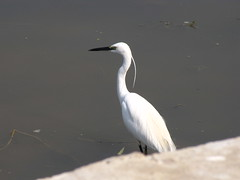 Greater Egret with breeding plumage (Shreeram Ghaisas) Tags: birds kutch dasada rann littlerann gujarath