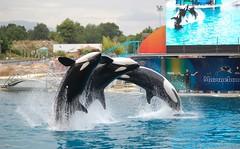Killer whales at Marineland (AnnabelleVoogd) Tags: france annabelle killer whale antibes marineland orka voogd orque