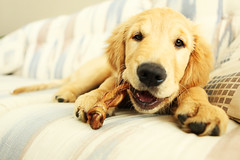 Gru (anthonyhelton.com) Tags: dogs puppy golden retriever mansbestfriend 5dii