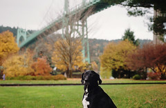 st. johns bridge tour guide (manyfires) Tags: bridge autumn dog fall film animal oregon portland labrador cross pointer walk canine nikonf100 blackdog daisy pacificnorthwest pdx forestpark stjohnsbridge cathedralpark animalscape