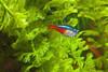 Day Twenty-Five - Neon Tetra (bahayla) Tags: fish aquarium neontetra project365 project36525 project365012712