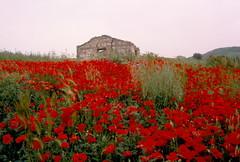 Papaveri (DuccioP( Thanks to all for over 50.000 views)) Tags: red natura poppy sicily rosso sicilia mak papaver papaveri madonie rhoeas