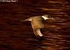 Belted Kingfisher With Shad At Dusk - Bayou Courtableau, Louisiana (Image Hunter 1) Tags: light shadow reflection nature water birds flying wings louisiana feeding dusk eating flight feathers bayou swamp kingfisher marsh ripples shad wingspan beltedkingfisher t2i birdslouisiana bayoucourtableau canont2i